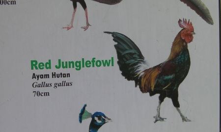 sign showing a rooster labeled as Red Junglefowl