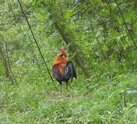 actual picture of a junglefowl rooster