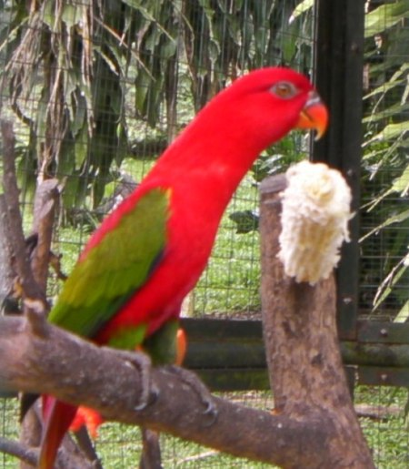 bright red lovebird with green wings