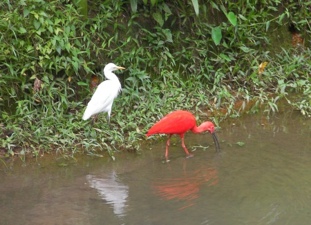 white ibis and scarlet ibis