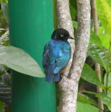 blue bird with black head