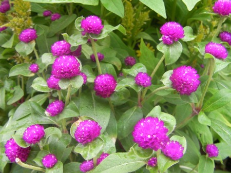 purple clover-like blooms