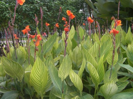 orange blooms with striped leaves