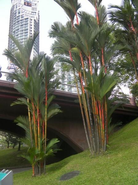 red stemmed palm bushes