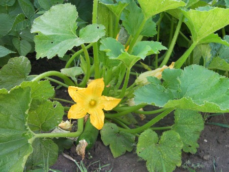 zucchini squash plant with large yellow bloom