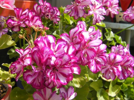 pink striped geranium flowers