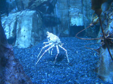 large long legged crab