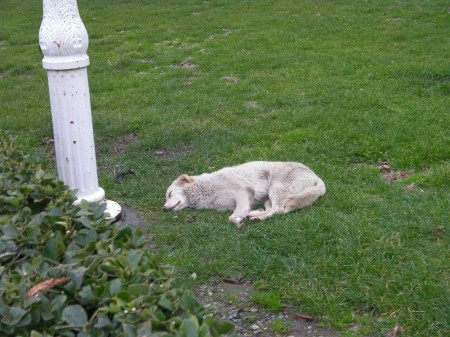 white dog napping on grass