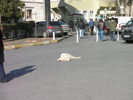 white dog napping in the middle of a road