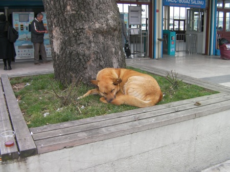large yellow dog napping under a tree