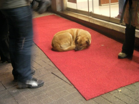 large yellow dog sleeping on a red carpet