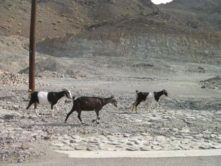 three goats at side of the road