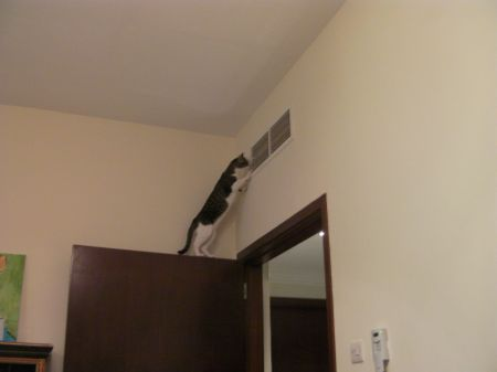 cat on top of door stretching up to look in a vent