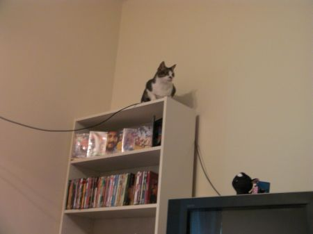 cat on top of a bookcase