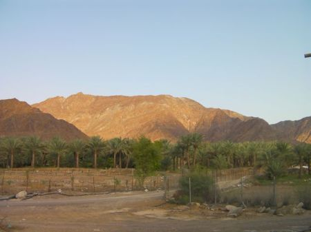 date palm tree farm and mountains behind
