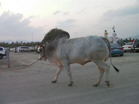 large grey bull