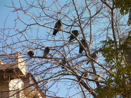seven pigeons in a bare deciduous tree