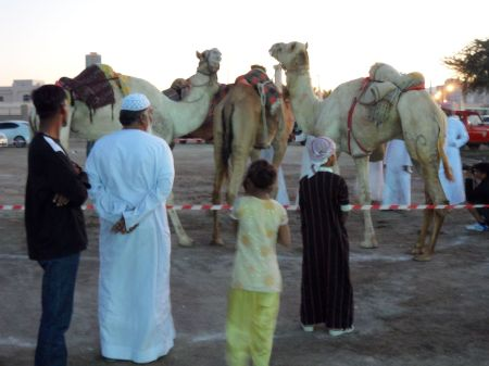 three camels and people observing