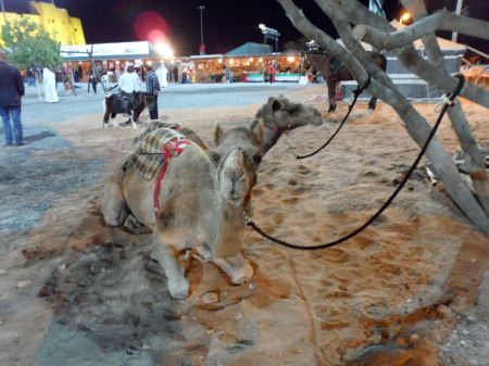 two camels laying down