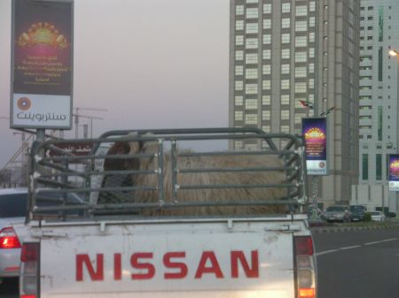 a ram in the back of a small truck