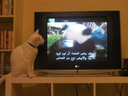 white cat sitting next to TV watching a panda