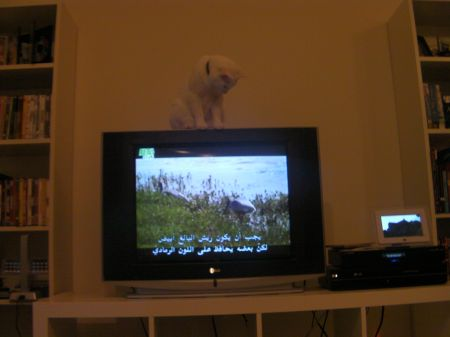 cat sitting on top of the TV looking down at it