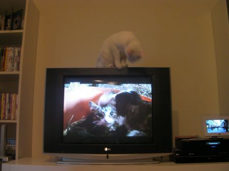 cat on top of TV looking down at a cat and kittens