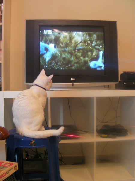 cat sitting on a stool in front of the TV