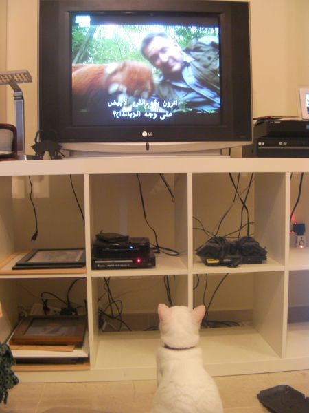 white cat looking up at a red panda on the tv