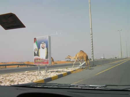 two camels crossing a road