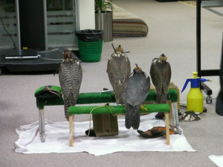 four hooded falcons