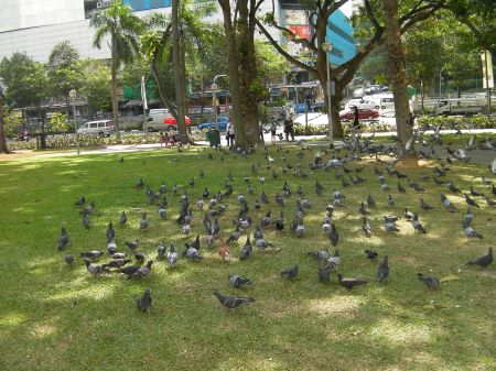 pigeons in a park