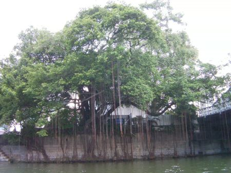 large tree on shore of the river