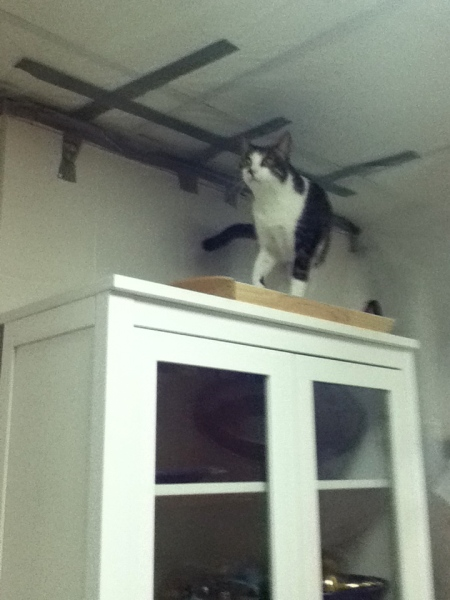 tabby cat on top of cabinet investigating the plastic sheeting duct taped to the ceiling