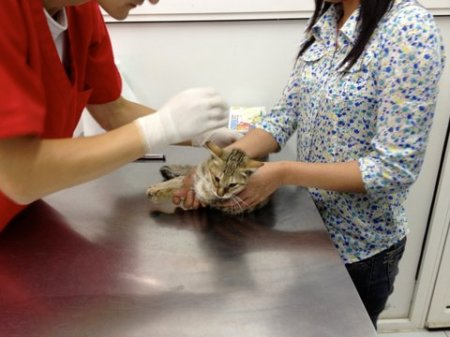 brown tabby being examined by the veterinarian