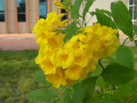 bright yellow trumpet shaped flowers