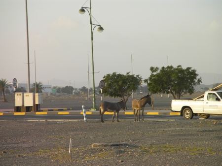 two feral donkeys in the city