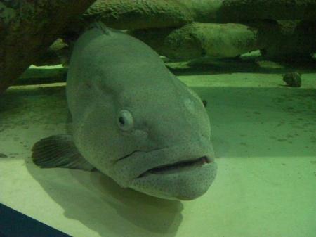 large ugly fish