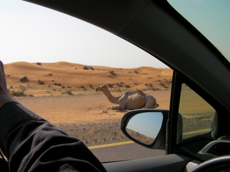 camel laying by the side of the road
