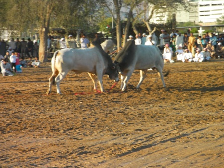 two bulls butting heads in a dirt arena