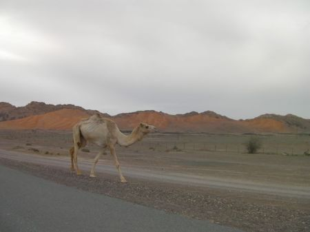 blonde camel on side of the road