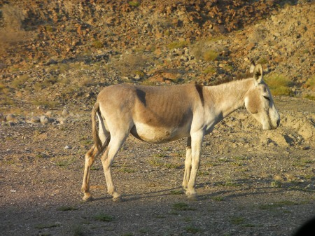 light colored feral donkey