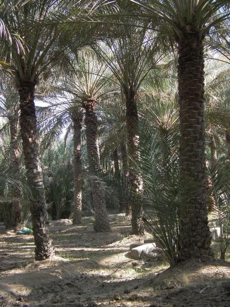 date tree grove