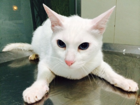 white cat on a metal surface with completely dilated eyes