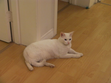 white cat laying down
