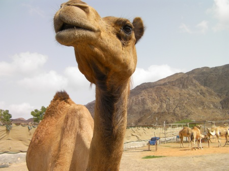 close up of a camel - head, neck and hump