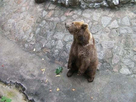 brown bear standing on hind legs