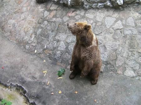 brown bear standing on hind legs