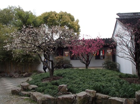 white and dark pink flowering trees