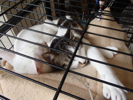two cats, one white, one tabby & white